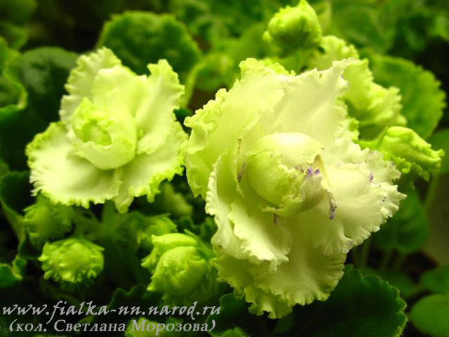 фиалка зеленая фото